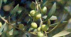 Oleifici_italiani_olive_ spremitura_a_freddo