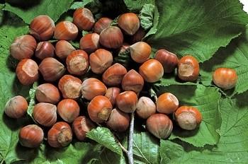 Nocciola di giffoni prodotti tipici campani italy eat food for Prodotti tipici di roma