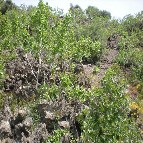 Terre verdi di bronte italy eat food for Pianta pistacchio prezzo