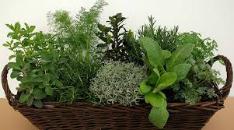 produttori piante aromatiche