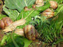 Manufacturers snails