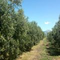 direct_sale_Calabria_oil_italy_eat_food