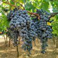 produttori_vini_bio_puglia_italy_eat_food